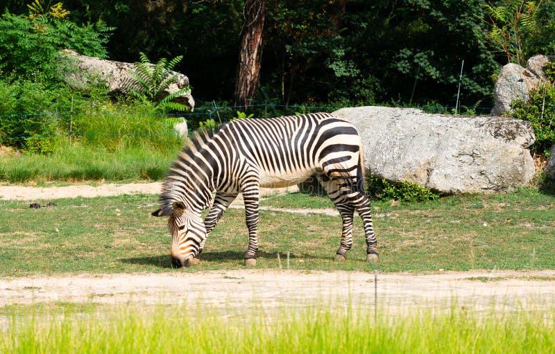 Hartmannae da zebra do Equus da zebra de montanha do ` s de Hartmann fotos de stock royalty free