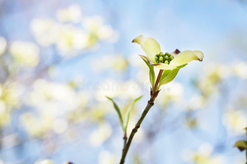 Hartriegel blüht im Frühjahr rauchige Gebirgsnationalpark Tennessee stockbilder