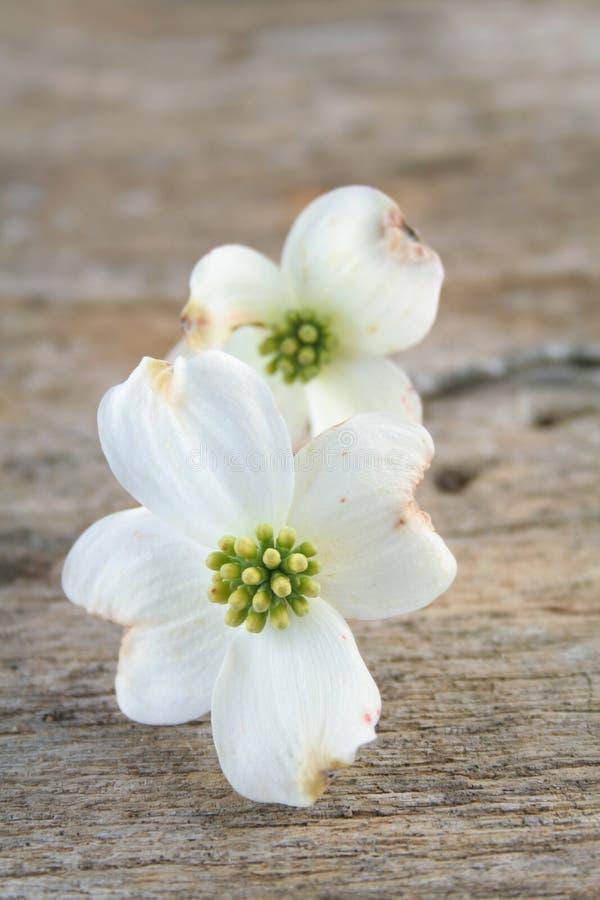 Hartriegel-Blüte lizenzfreies stockfoto