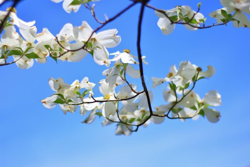 Hartriegel-Blüte - Farben im Natur-Hintergrund - hängendes Weiß stockfotos