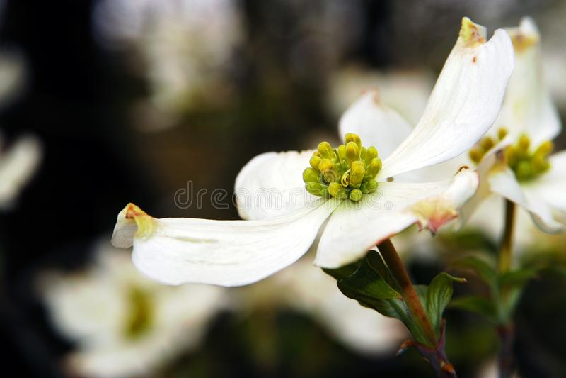 Hartriegel-Blüte im Frühjahr stockbilder