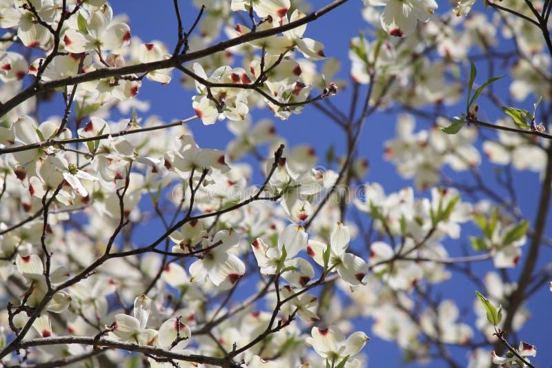 Hartriegel-Blüten lizenzfreies stockfoto