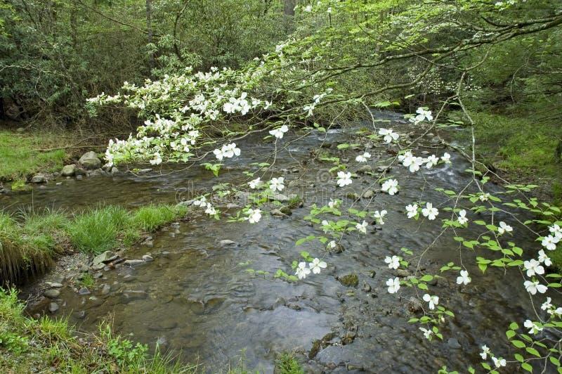 Hartriegel-Frühlinge, Smokey Berge stockbild
