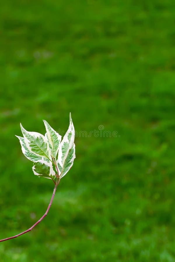 Hartriegel (Kornelkirsche alba) verlässt auf grünem Hintergrund lizenzfreie stockfotografie