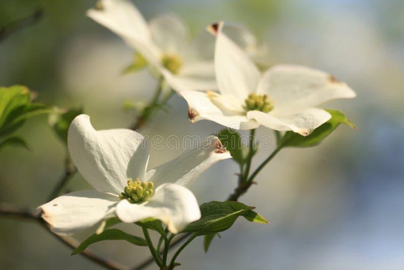 Hartriegelblume stockfoto