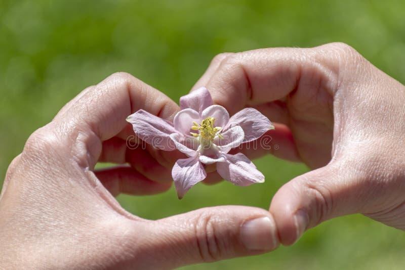 Hartvorm h met zachte Roze Purpere die Bloem op witte achtergrond, hoogste mening, perspectiefmening wordt geïsoleerd Hand die Ro royalty-vrije stock foto