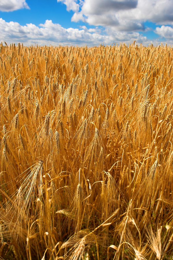 Harvest royalty free stock image