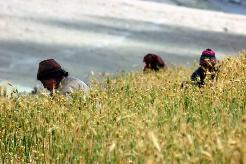 Harvest in a barley field, Himalaya. royalty free stock photo