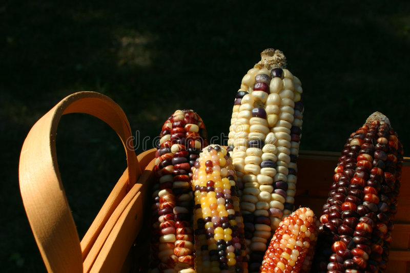 Harvest basket of indian corn royalty free stock photography