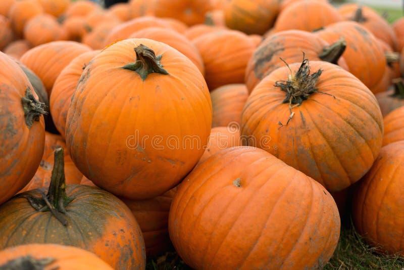 Harvest of big pumpkins on the field. October. stock images