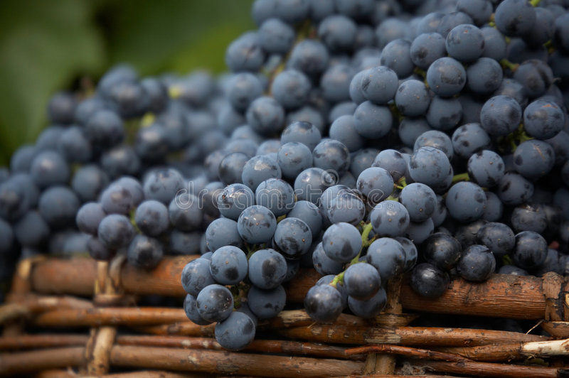 Harvest of blue grape. Bunches of blue grape in bascket stock image
