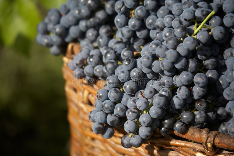 Harvest of blue grape. Bunches of blue grape in bascket. focus on front royalty free stock photos