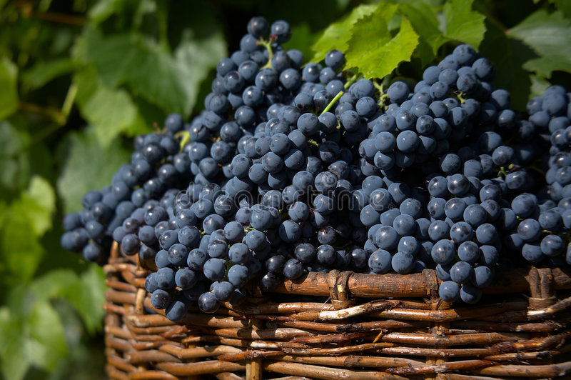 Harvest of blue grape. Bunches of blue grape in bascket royalty free stock images