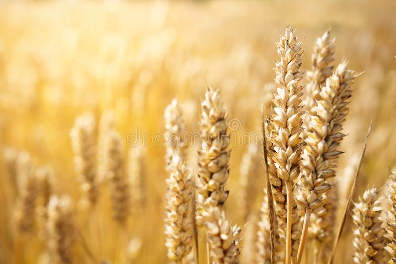 Harvest bread concept. The background of the wheat crop. Mature wheat ears in bright sunny yellow light royalty free stock photos
