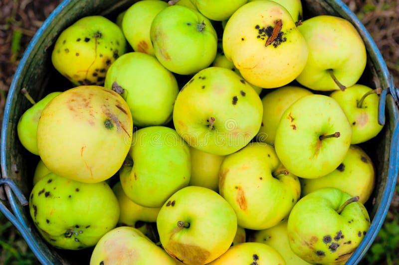Harvest broken and bad apples in bucket. Harvest broken and bad apples in a bucket royalty free stock image