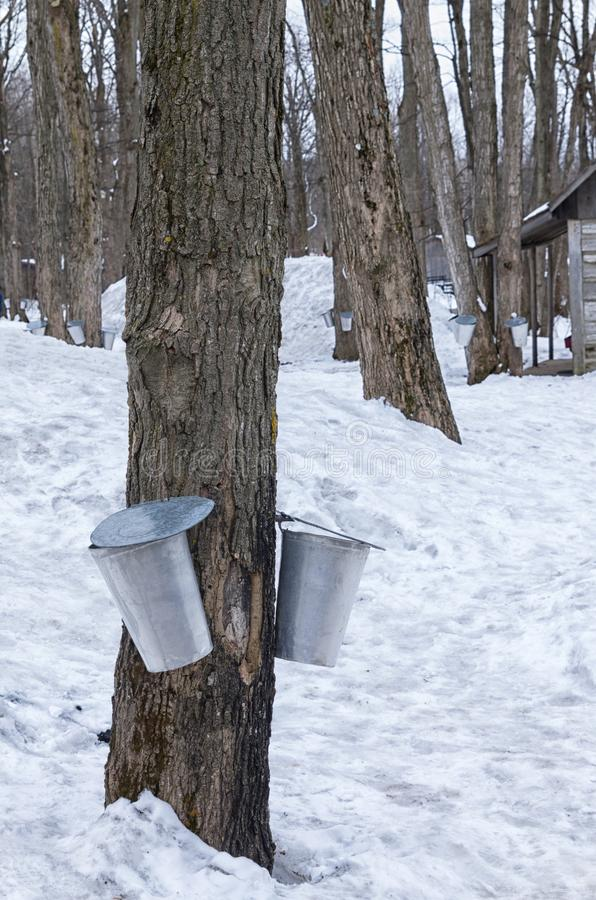 Harvest buckets at sugar shack. In spring royalty free stock image