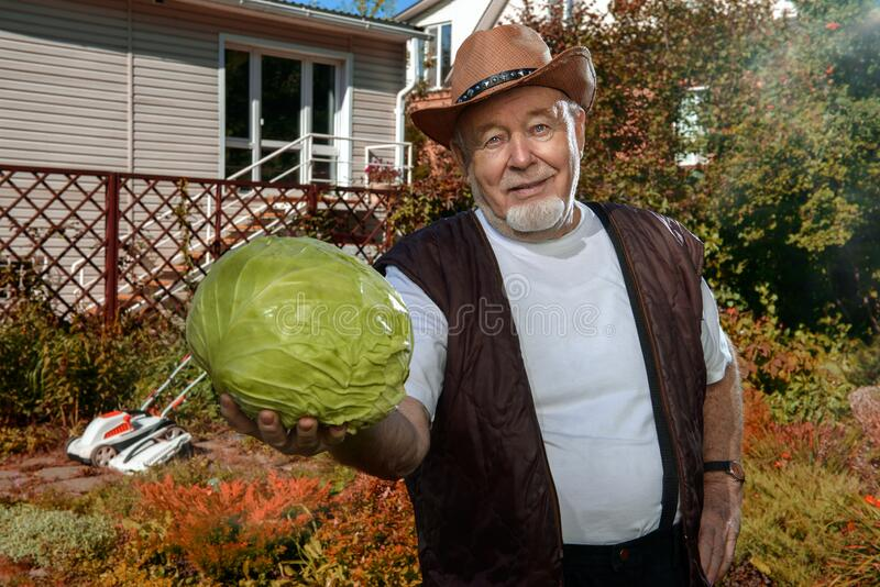 Harvest of cabbage royalty free stock photography