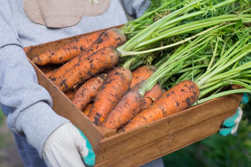 The harvest of carrots. The hands of a young man holding a wooden box with carrots and tops stock photos