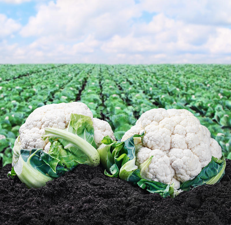 Harvest cauliflower on the ground stock photography