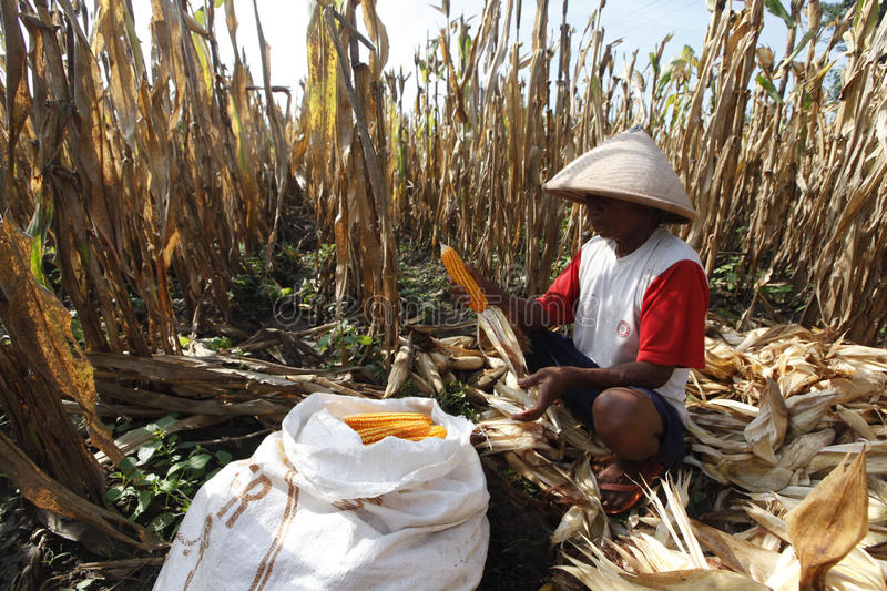 Harvest corn. Growers harvest corn in his garden in Sukoharjo, Central Java, Indonesia royalty free stock photography