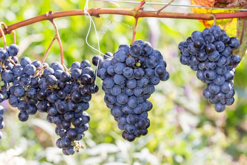 Harvest festival, bunch of ripe large varietal dark blue wine grapes, horizontal fruit background royalty free stock images