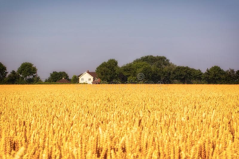 Harvest festival golden field of wheat. Farmland in Norfolk, East Anglia, UK. Grain crop ready for summer harvesting royalty free stock photo