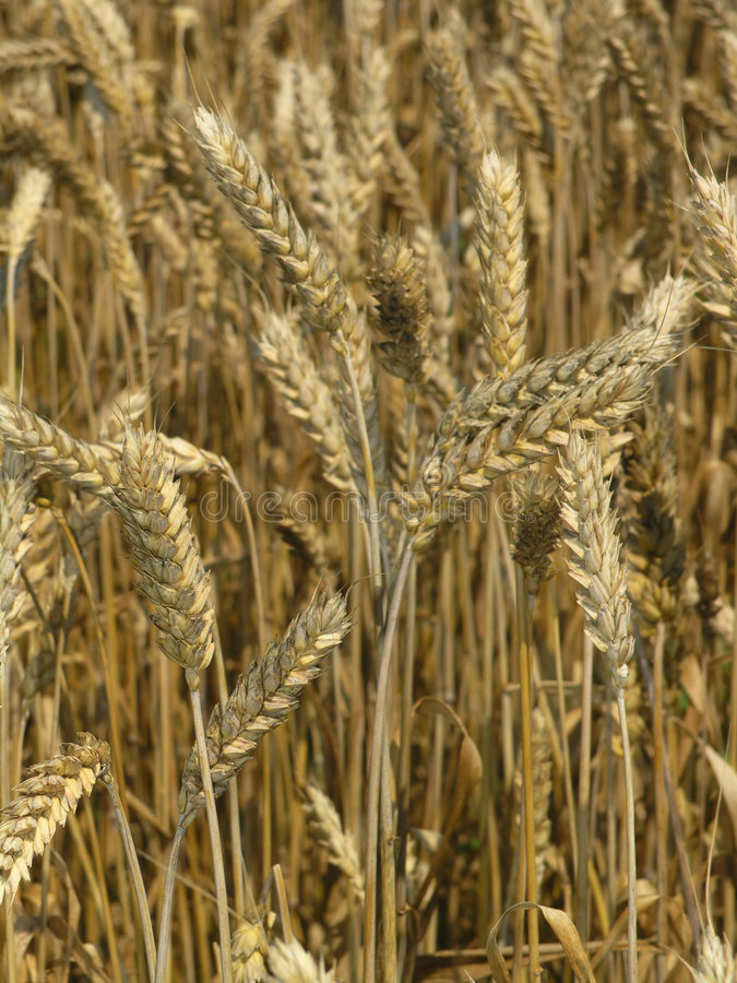 Harvest Field royalty free stock photos
