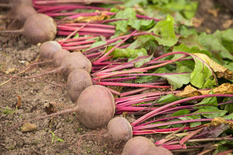 Harvest of fresh beet greens in a garden on earth outdoors closeup. Harvest of fresh beet in a garden royalty free stock images