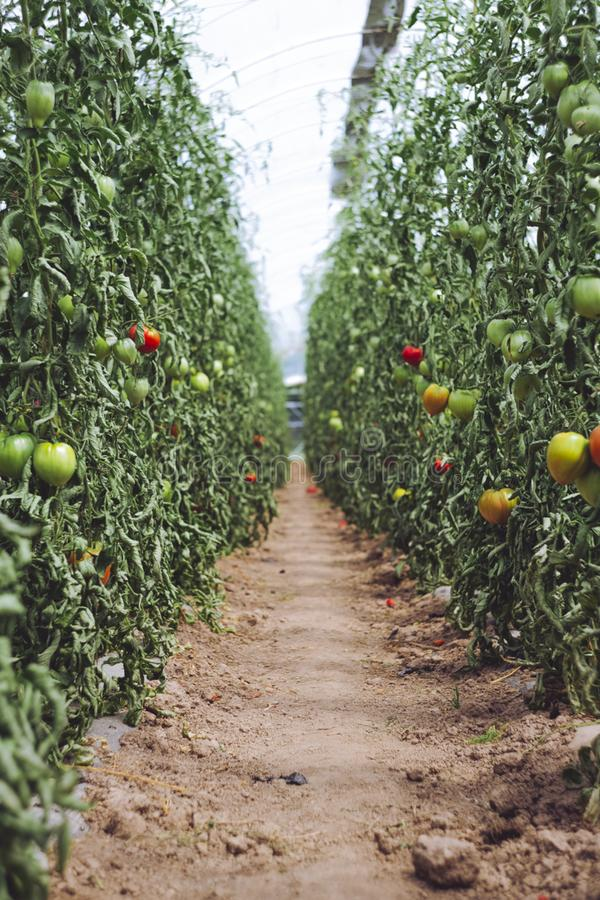 harvest fresh bio tomato at glasshouse royalty free stock photos
