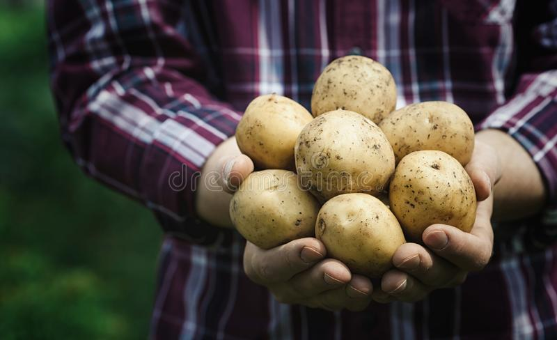 Harvest of fresh raw potatoes in hands of farmer against green background. Organic farming.  royalty free stock photography