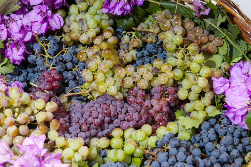 Harvest of the Grape. Bunches of grapes severed in the feast of ingathering of the grape royalty free stock photos