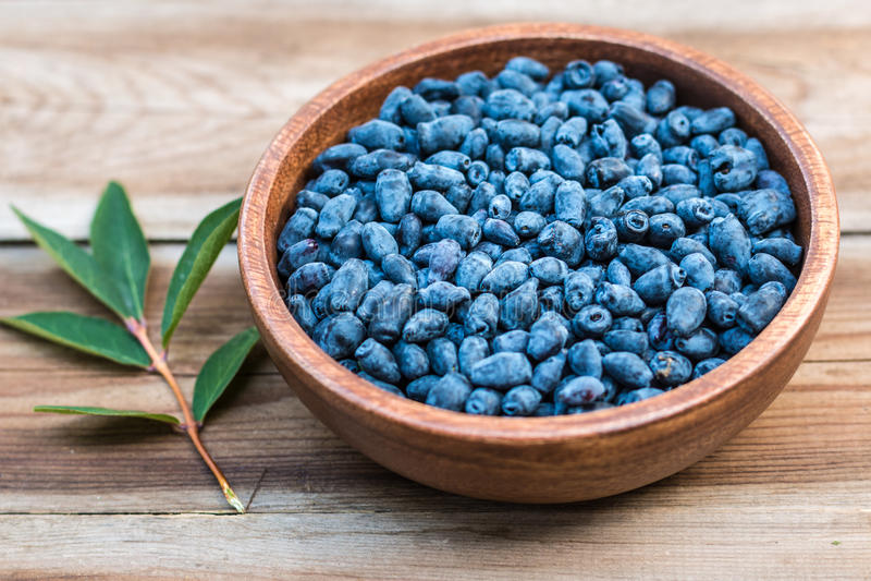Harvest of Haskap berries, Lonicera caerulea, also calles honeyberries, blue berry honeysuckle or sweetberry honeysuckle stock photography