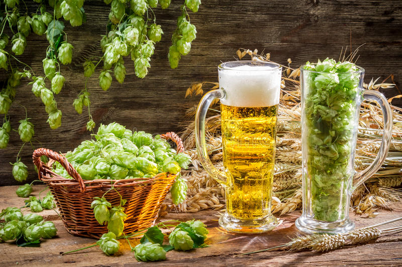 Harvest hops and wheat for fresh homemade beer stock images