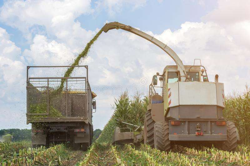 Harvest of juicy corn silage by a combine harvester and transportation by trucks, for laying on animal feed royalty free stock images