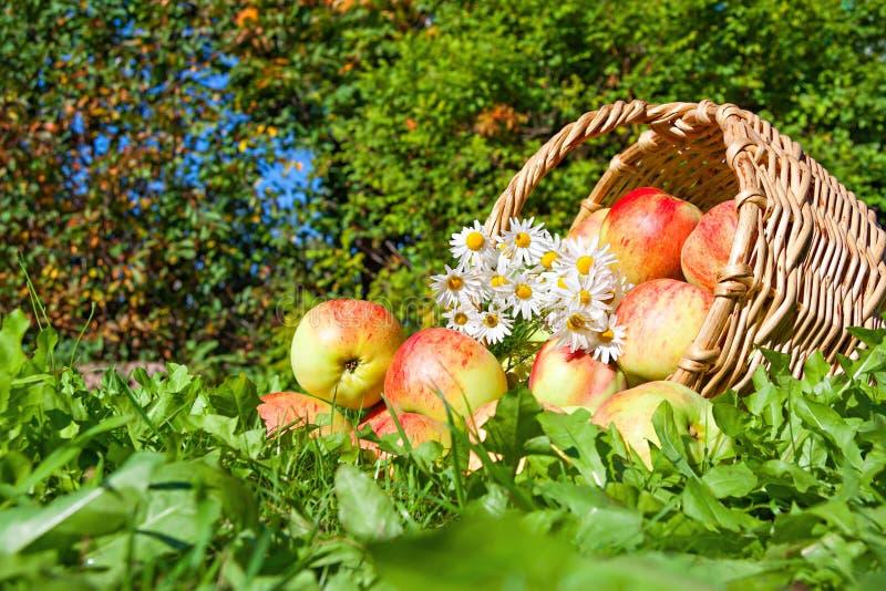 Harvest juicy ripe fruit apples in basket royalty free stock photo