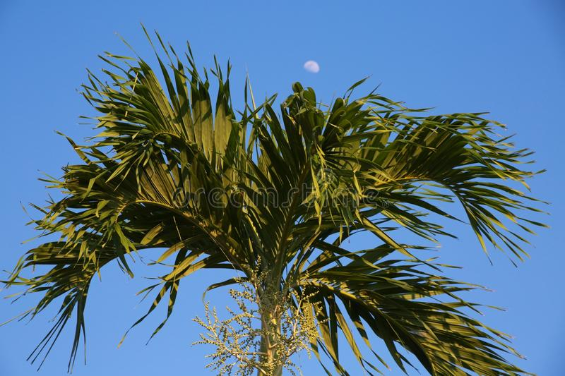 Moon Over Palm Tree at Dusk royalty free stock photography