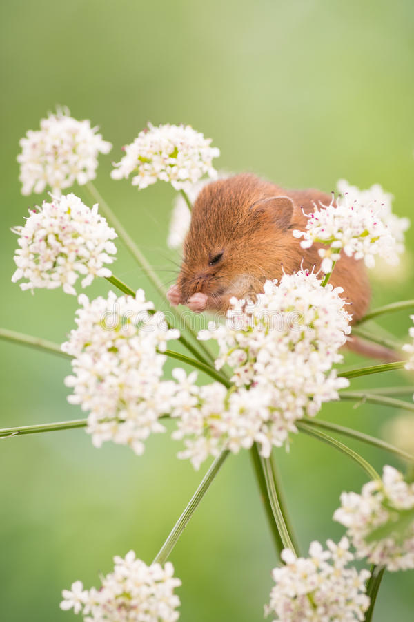 Harvest Mouse cleaning royalty free stock photo