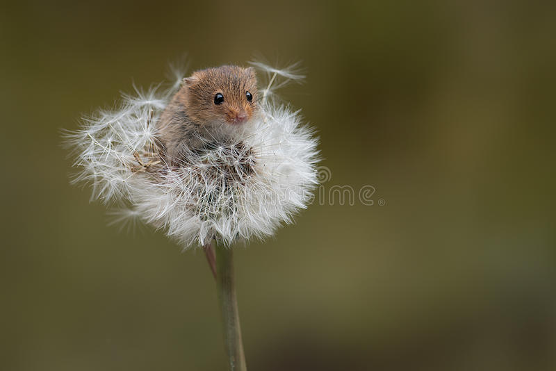 Harvest Mouse and dandelion clock royalty free stock photography