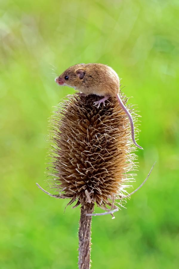 Harvest Mouse royalty free stock image