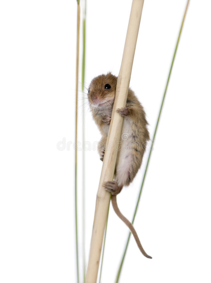 Download Harvest Mouse, In Front Of A White Background Stock Image - Image: 10929321