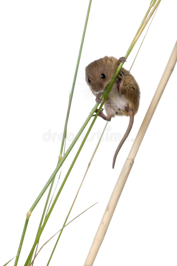 Download Harvest Mouse In Front Of A White Background Stock Image - Image: 10938731