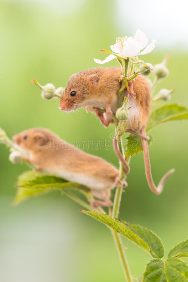 Harvest Mouse hangout royalty free stock image