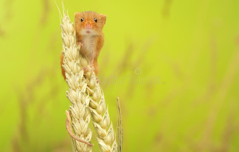 Harvest mouse stock photo