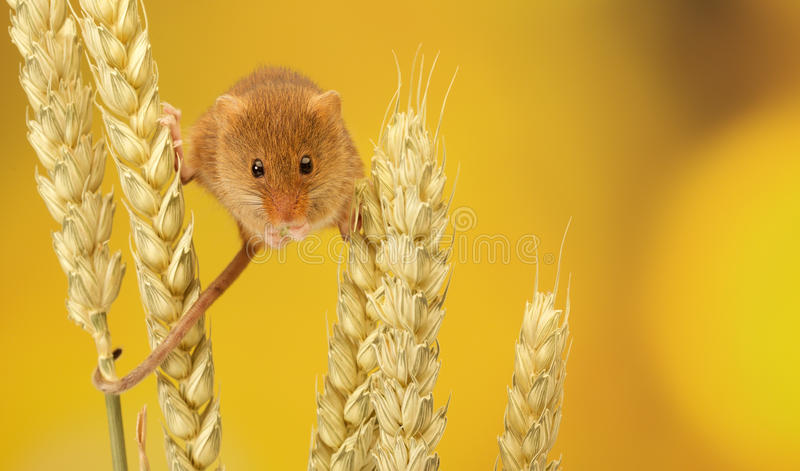 Harvest mouse royalty free stock photo