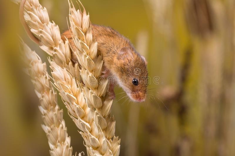 Harvest Mouse looking for food stock images