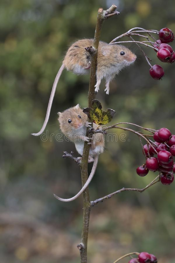 Free Harvest Mouse, Mice Close Up Portrait Sitting On Thistle, Corn, Wheat, Brambles, Sloe, Daisy, Flowers Stock Images - 103404884