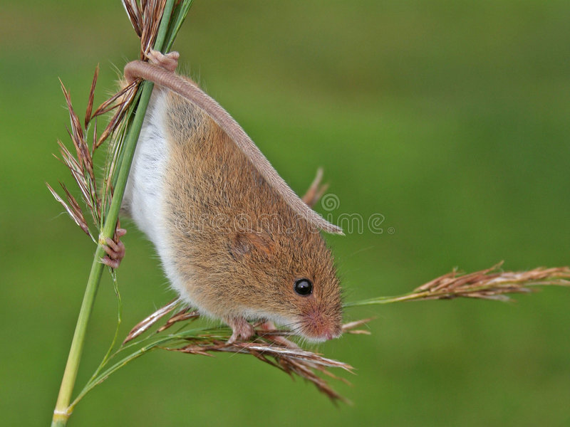 Download Harvest Mouse/Micromys Minutus Stock Image - Image: 5719691