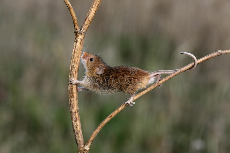 Download Harvest Mouse, Micromys Minutus Stock Image - Image: 33062793