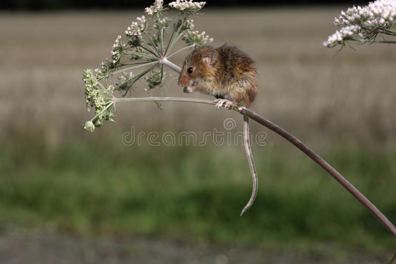 Download Harvest Mouse, Micromys Minutus Stock Image - Image of mouse, minutus: 33062803