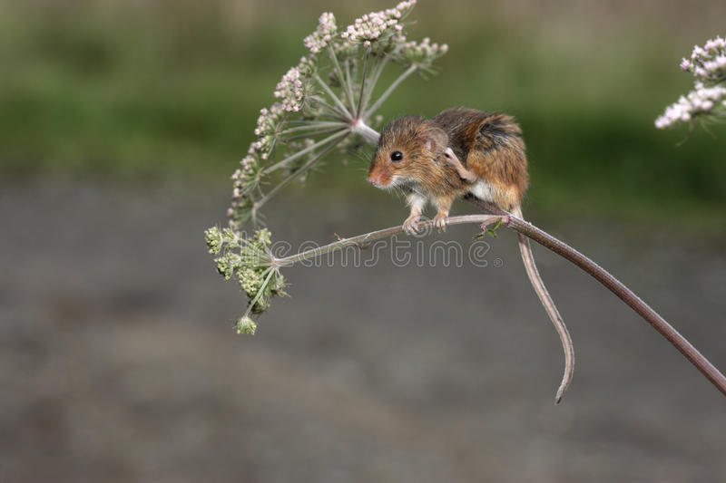 Download Harvest Mouse, Micromys Minutus Stock Photo - Image: 33062818